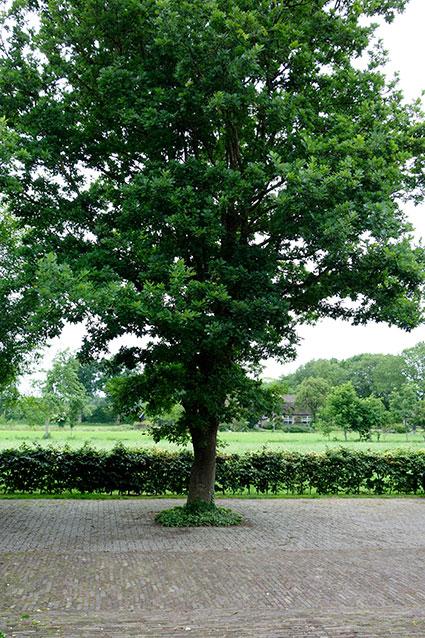 eikenboom-quercus-plein