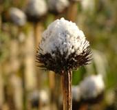 echinacea winter met sneeuw