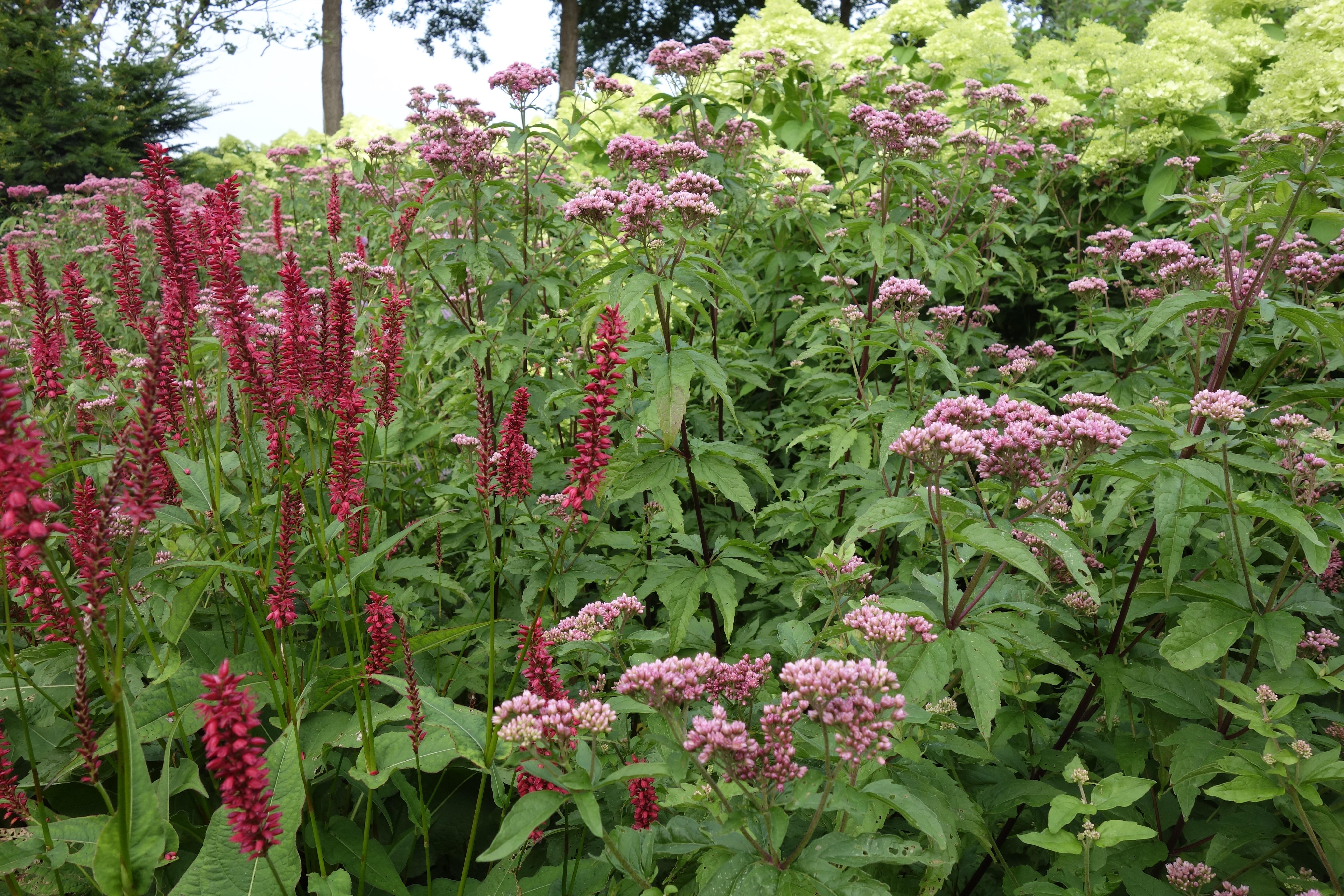 border hoog roze eupatorium