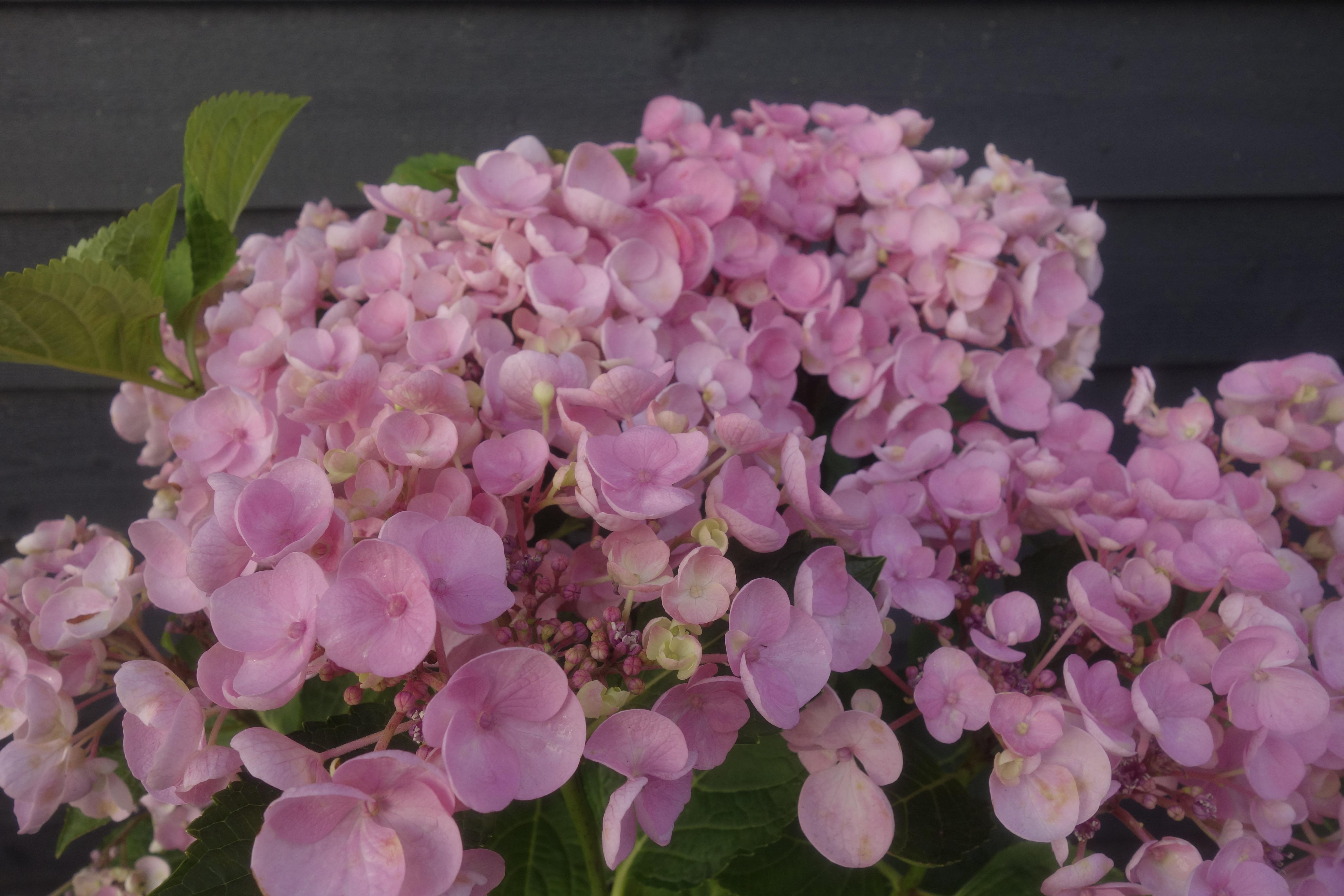 hortensia hydangea