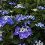 hydrangea hortensia blauw