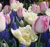 tulpenpracht_hoogenboom