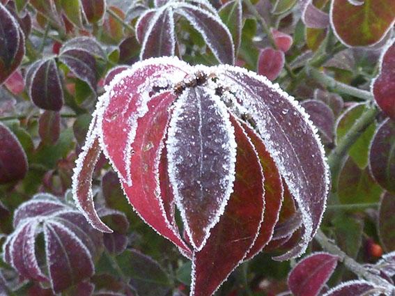 euonymus_winter