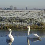 Zwanen in de polder Bilwijk