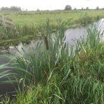 Slootkant met Lisdodde in agrarisch cultuurlandschap Krimpenerwaard