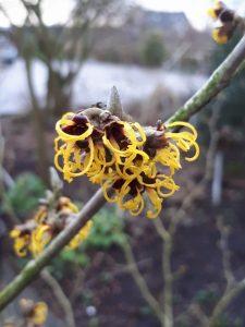 Hamamelis intermedia 'Nina';En ze ruikt ook nog eens lekker zoet © Marrion Hoogenboom