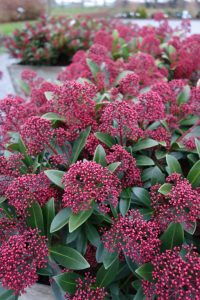 Skimmia 'Rubesta' © Marrion Hoogenboom