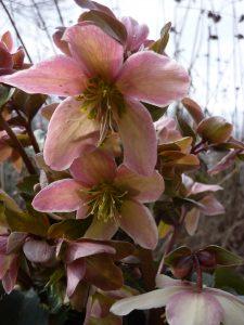 Helleborus geeft kleur aan de winter © Marrion Hoogenboom