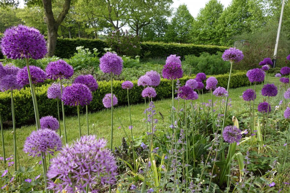 allium sierui tuin ©Groenerwaard
