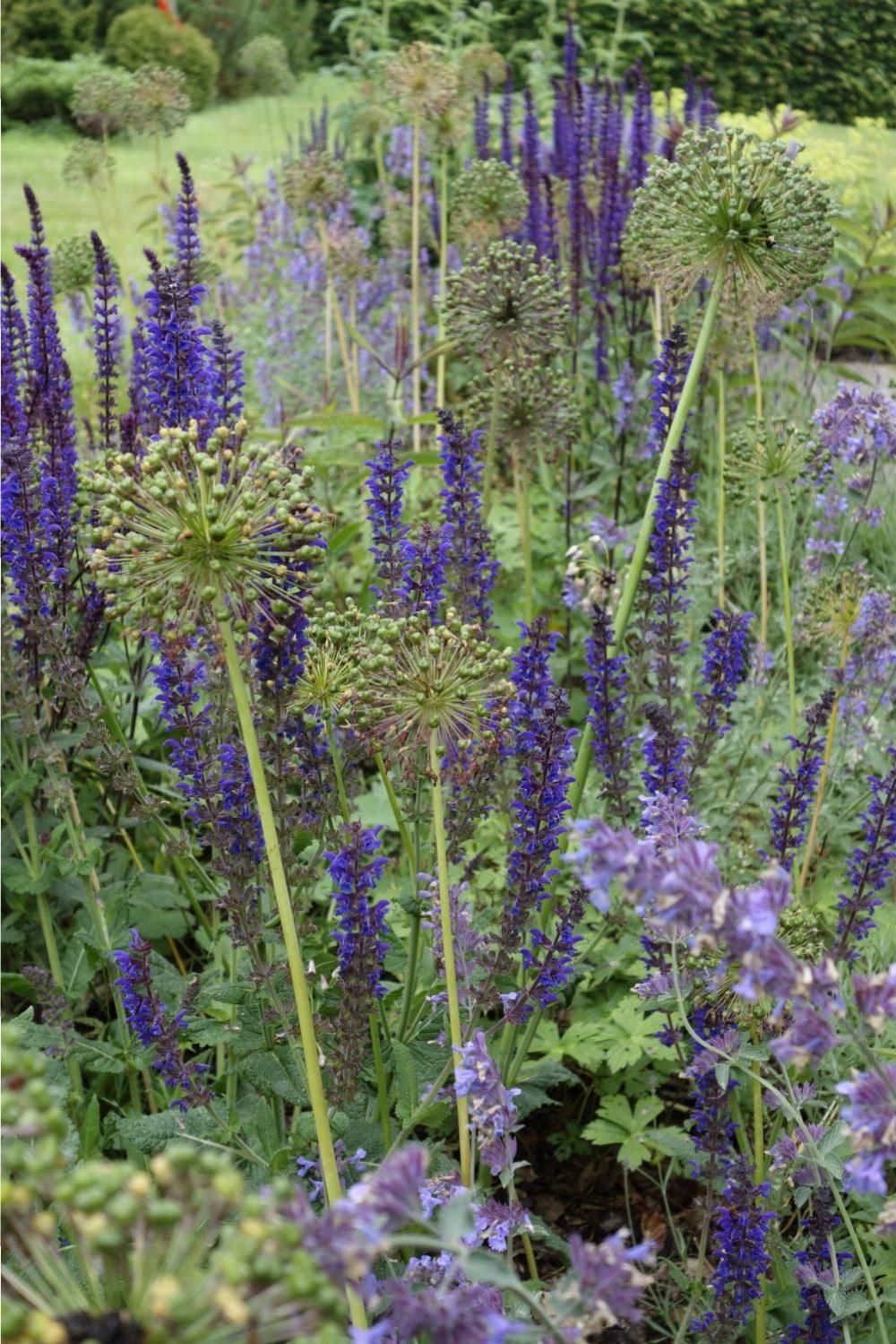 nepeta salvia allium tuin border ©Groenerwaard