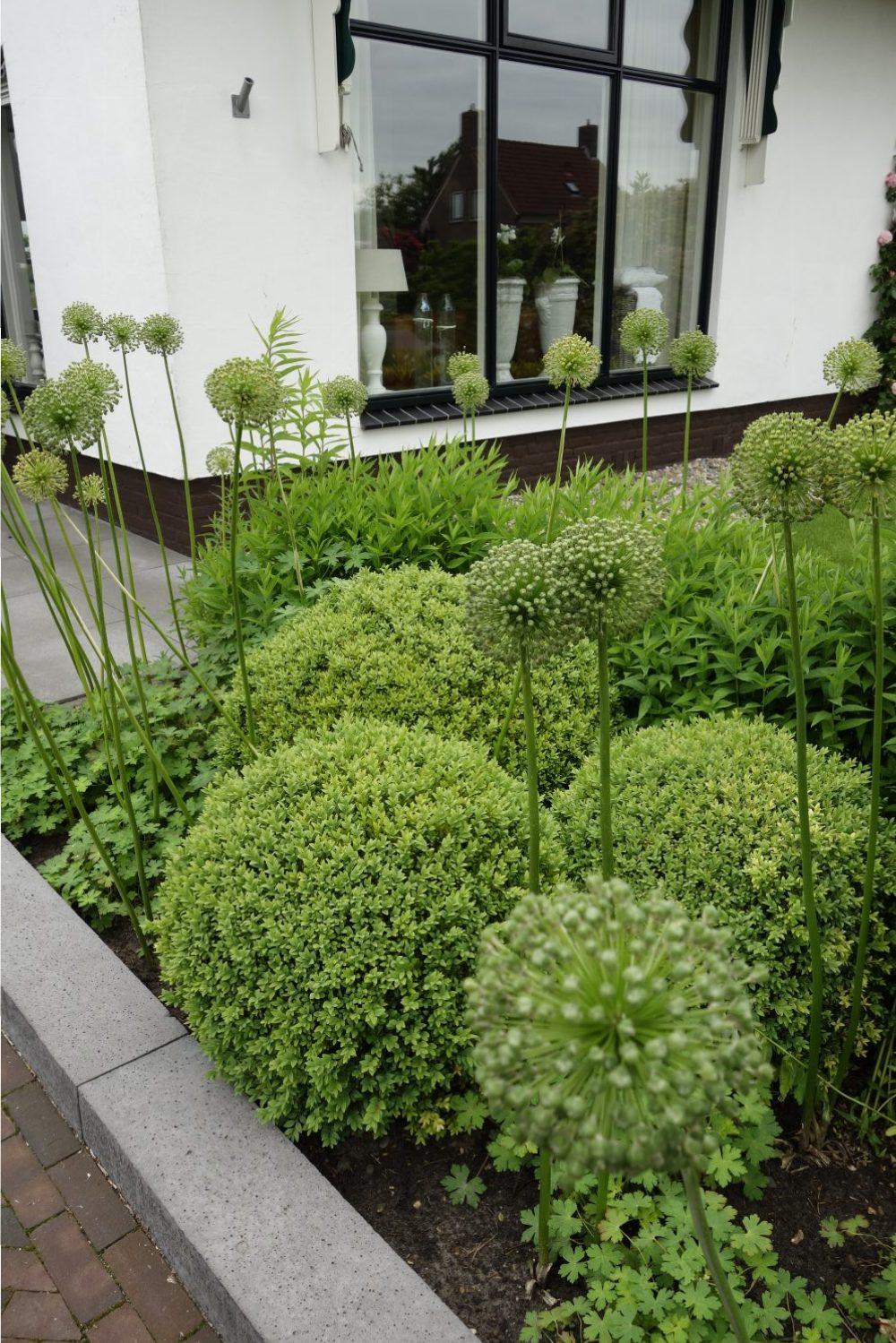 border groen bol allium voortuin tuinontwerp drenthe ©Groenerwaard
