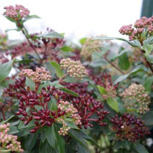 viburnum tinus gwenllian ©Groenerwaard