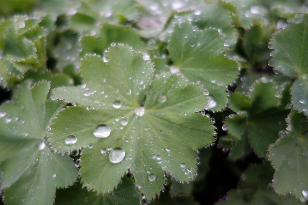 vrouwenmantel alchemilla mollis regendruppel ©Groenerwaard