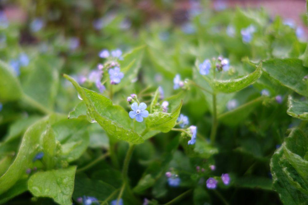 kaukasisch vergeet me nietje brunnera macrophylla ©Groenerwaard