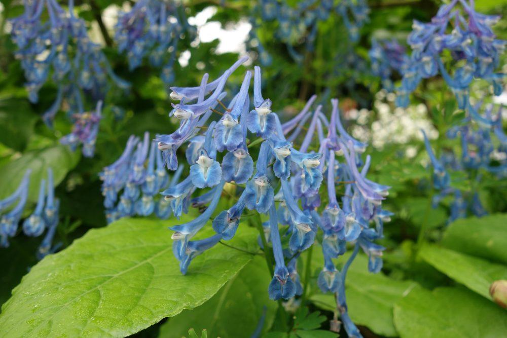 corydalis blauw voorjaar stinsenplant landgoed ©Groenerwaard