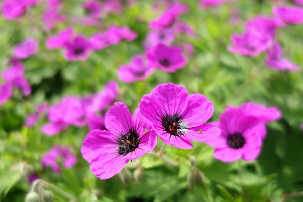 geranium patricia bodembedekker onderhoudsvriendelijk tuin ©Groenerwaard