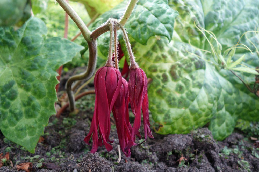 podophyllum voetblad bloem bloei ©Groenerwaard