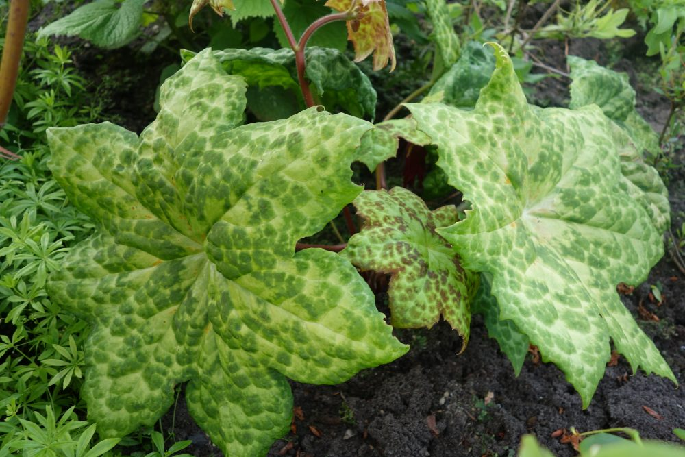 podophyllum voetblad spotty dotty bloei ©Groenerwaard