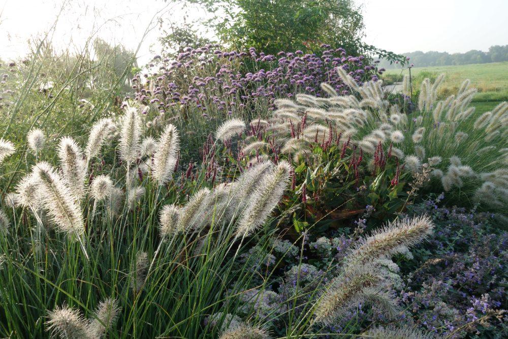lampenpoetsersgras pennisetum verbena ©Groenerwaard