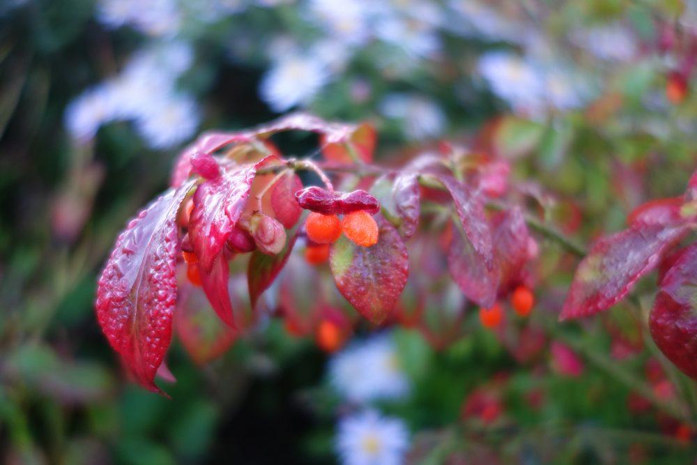 eunymus alatus kardinaalsmuts tuinontwerper ©Groenerwaard