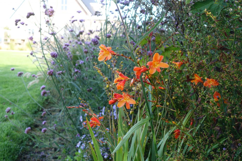 border oranje paars combinatie planten tuin ©Groenerwaard