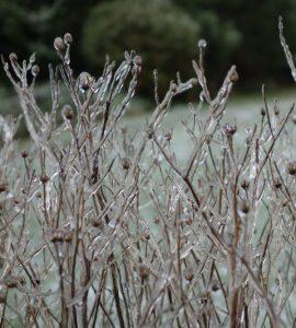 winter tuin ijs sneeuw ijzel planten ©Groenerwaard