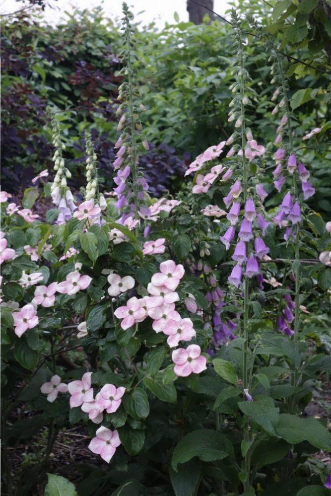 bos tuin bostuin cornus digitalis vingerhoedskruid schaduw ©Groenerwaard