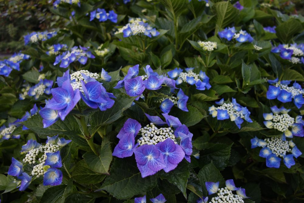 hortensia hydrangea blauw ©Groenerwaard