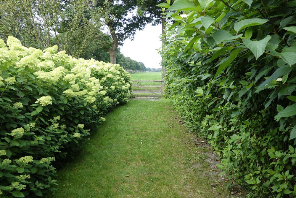 oprit entree laan hortensia kornoelje limelight ©Groenerwaard