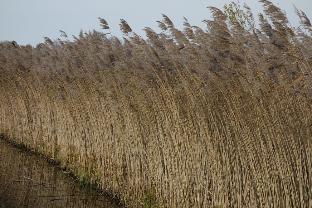 riet hooge boezem haastrecht stolwijk krimpenerwaard ©Groenerwaard
