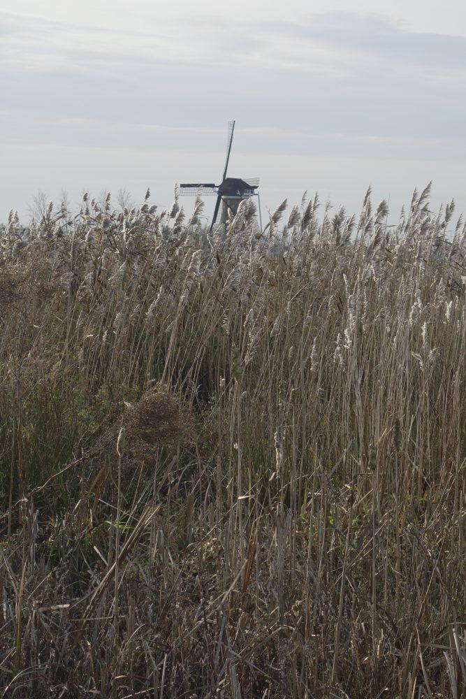 riet molen hooge boezem haastrecht stolwijk krimpenerwaard ©Groenerwaard