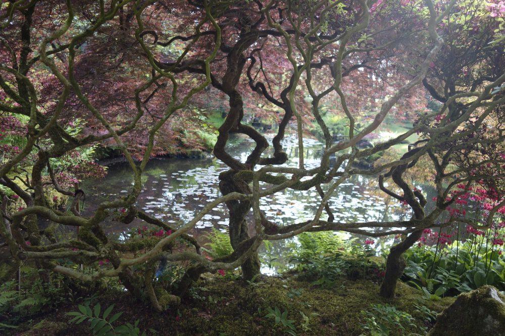 acer japanse tuin clingendael den haag ©Groenerwaard