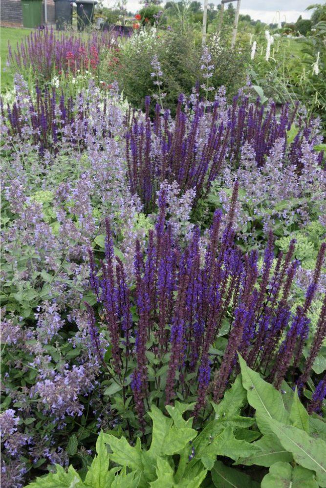 salvia nepeta tuin border paars onderhoudsvriendelijk ©Groenerwaard