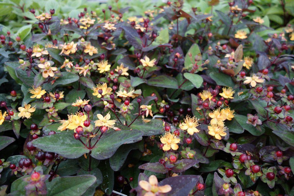 geel oranje rood in de tuin ©Groenerwaard