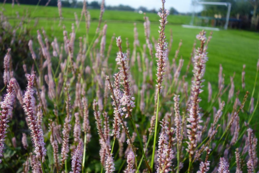 pericaria roze bodembedekker onderhoudsvriendelijk tuinontwerp ©Groenerwaard