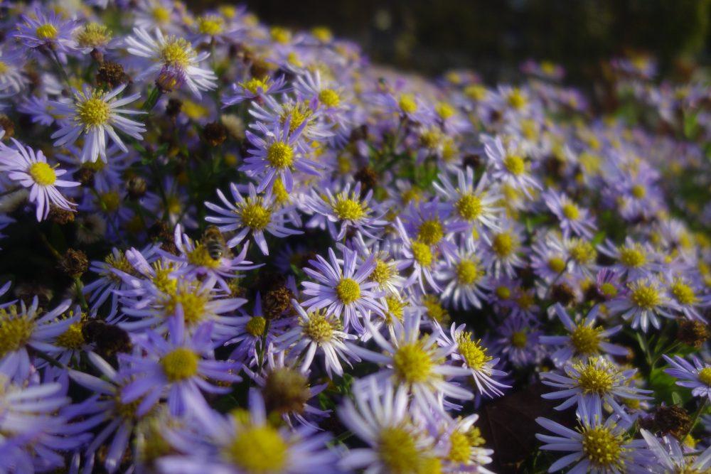 aster lila paars bodembedekker onderhoudsvriendelijk tuinontwerp ©Groenerwaard