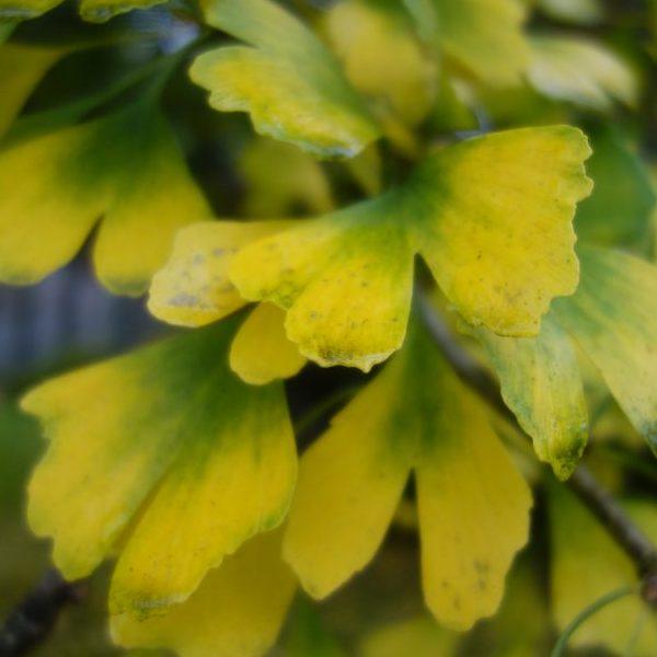 ginkgo biloba blad herfstkleur geel boom ©Groenerwaard