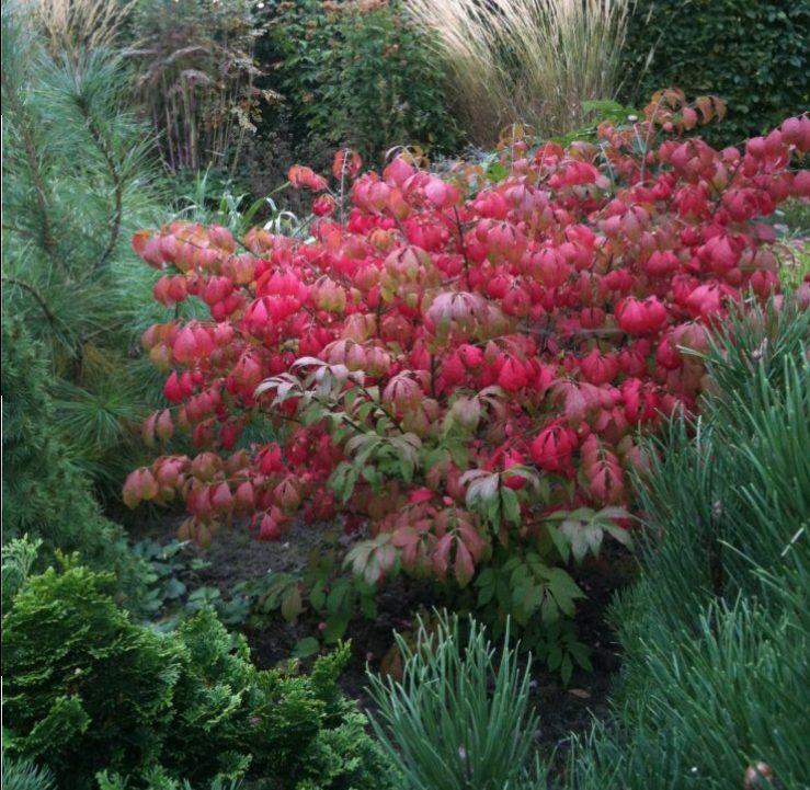 rood en groen kardinaalsmuts met coniferen ©Groenerwaard