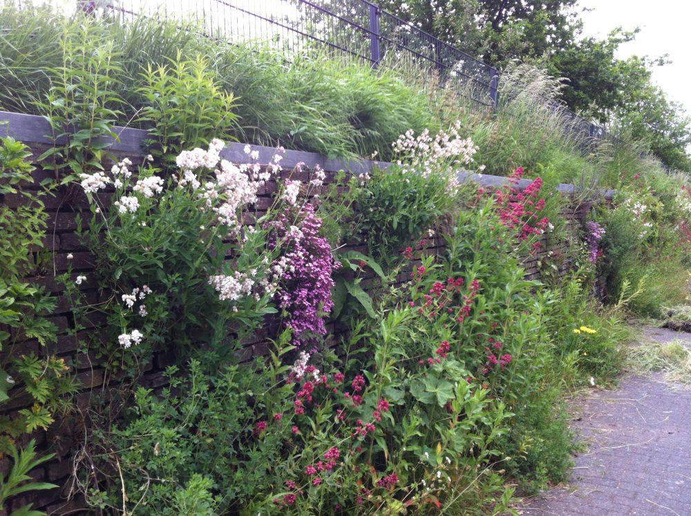 muur planten weelde tuinmuur utrecht ©Groenerwaard