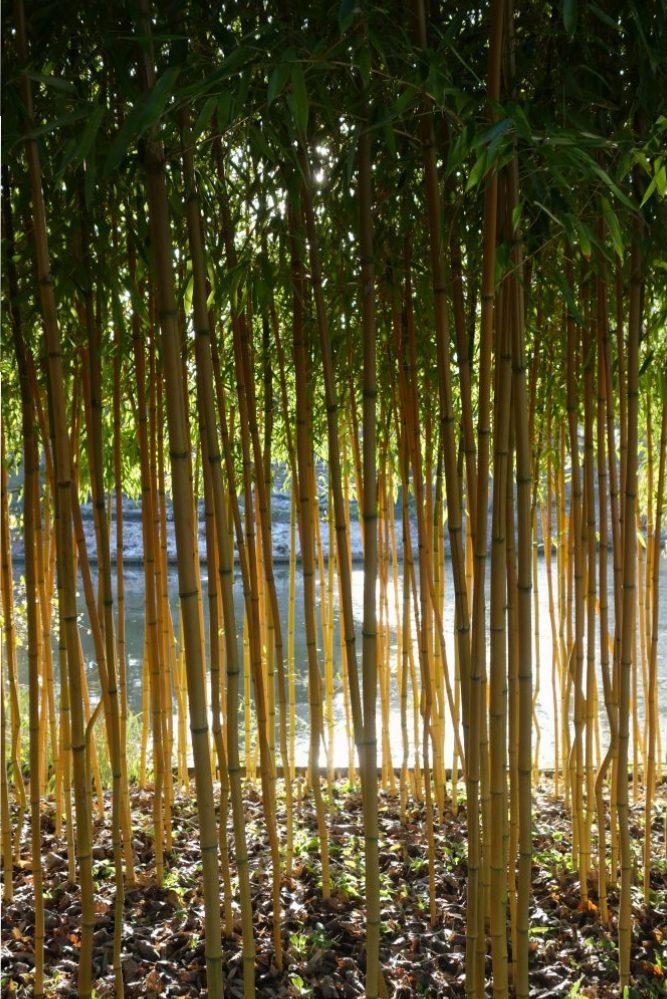 bamboe geel Phyllostachys aureosulcata ©Groenerwaard