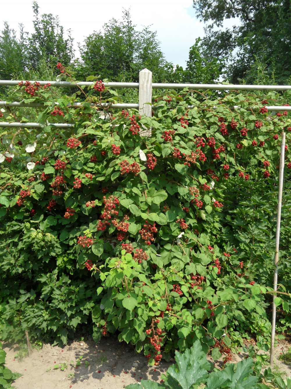 moestuin fruit Rubus phoenicolasius japanse wijnbes ©Groenerwaard