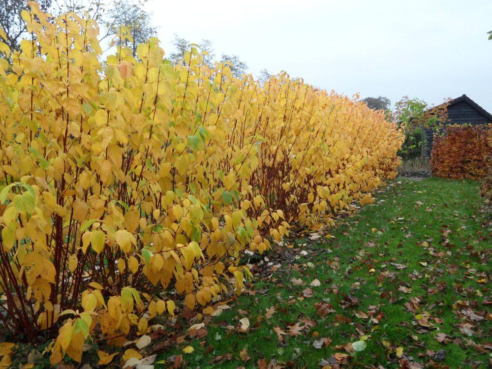 herfstkleur herfstborder cornus kornoelje alba herfst tuin ©Groenerwaard