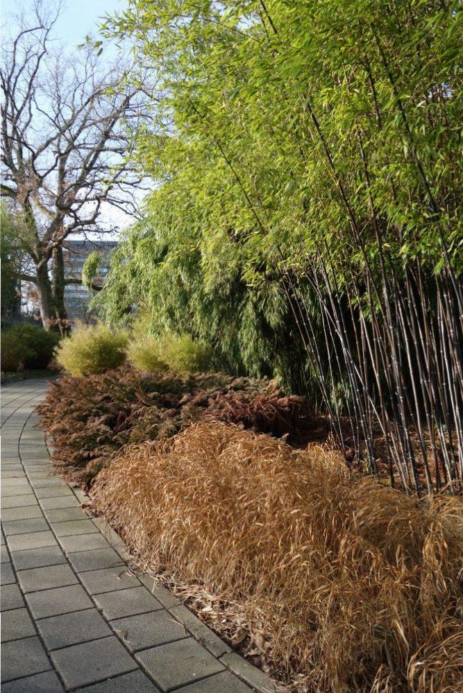 bamboe siergras botanische tuin utrecht ©Groenerwaard
