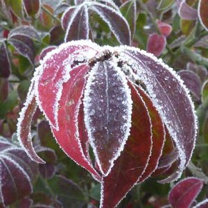 euonymus_alatus winter herfst rood tuinontwerp ©Groenerwaard