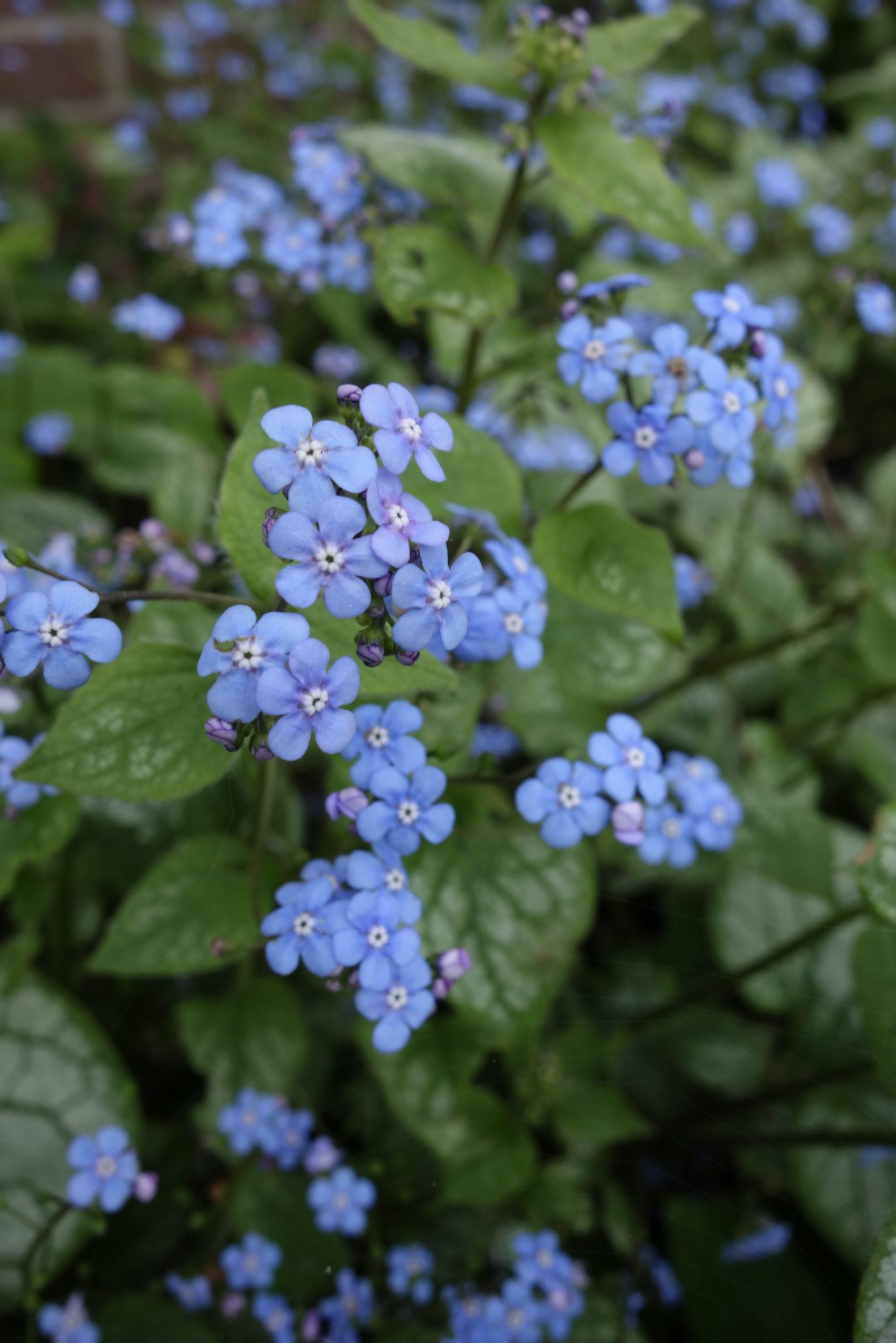 Brunnera macrophylla 'Jack Frost' Kaukasische vergeet me niet ©Groenerwaard