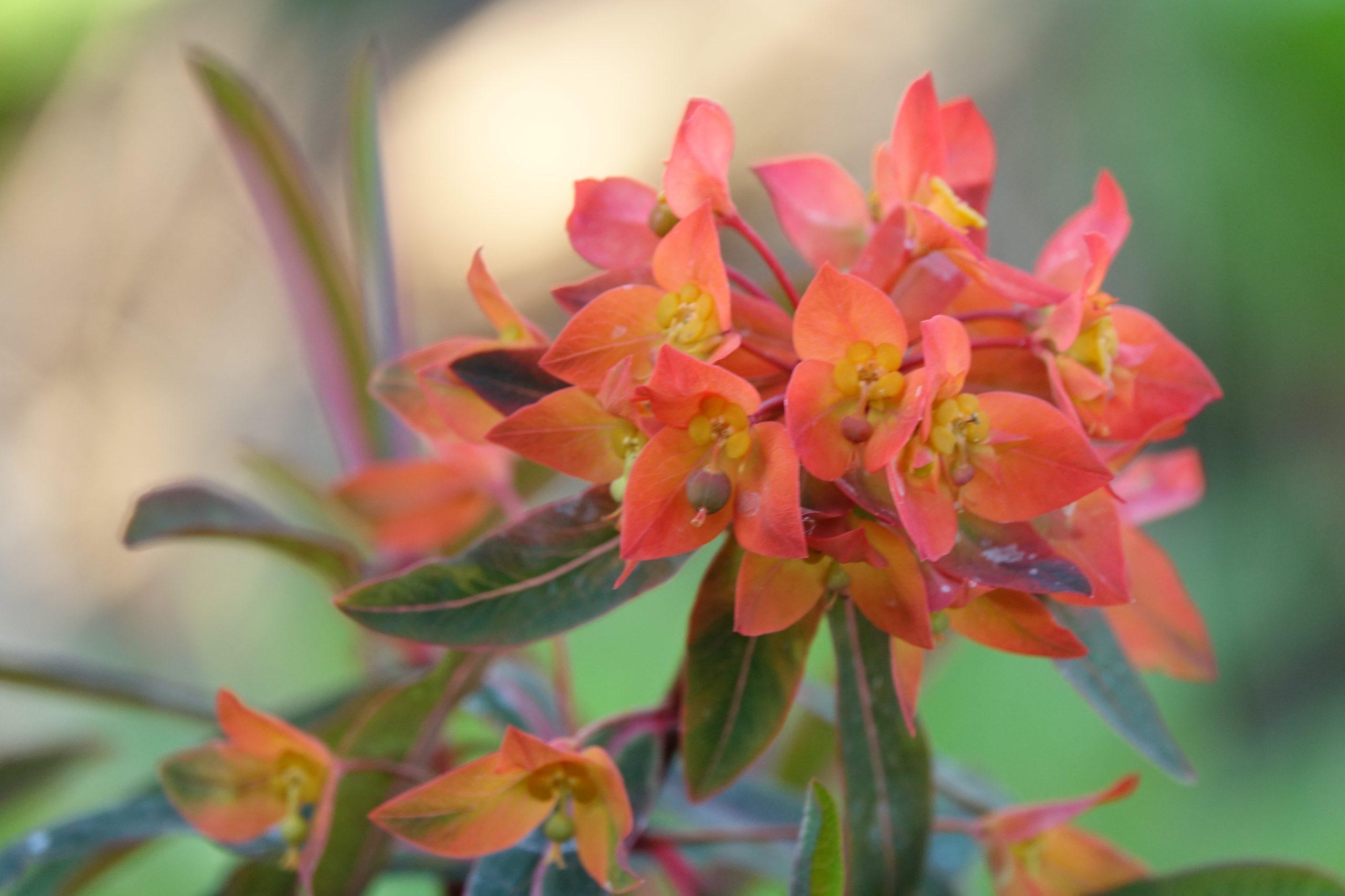 Euphorbia martinii 'Fireglow' ©Groenerwaard
