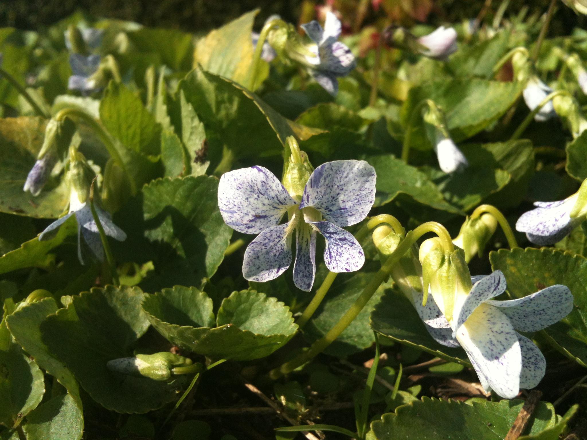 viola sororia freckles ©Groenerwaard